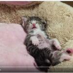 寝ながらバンザイする子ネコがハンパなくカワイイ(*´Д`)
