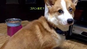 コギ動画しっぽ2