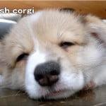 コーギー癒され動画 子犬のお昼寝 ピンクの肉球がかわいい(*´ω`*)