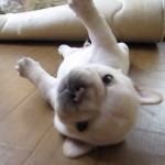 【コロンコロン♪】起き上がりたいフレンチブルドッグの子犬がカワイイ【動画】