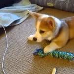 かわいいコーギーの子犬がおびえていた意外なものとは!?