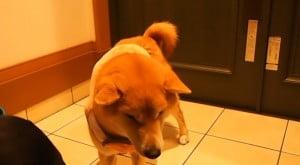 服着る柴犬2