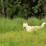 マダニに犬が刺された時の対処法!取り方や予防策と症状も紹介
